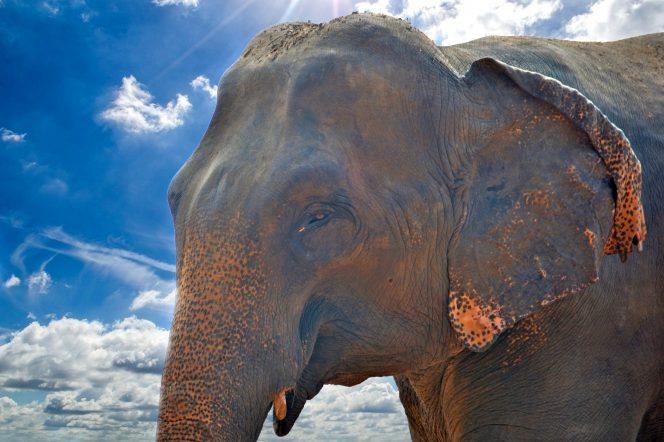 Ohrožený slon indický